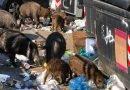 A Roma i cinghiali razzolano indisturbati tra i rifiuti